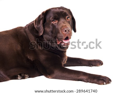 Chocolate labrador dog girl is isolated on the white background - stock photo