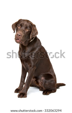 Chocolate Labrador dog sitting in front of a white background
