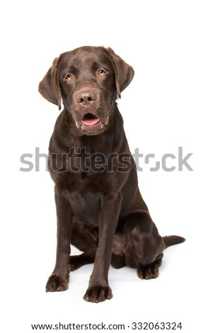 Chocolate Labrador dog sitting in front of a white background - stock photo