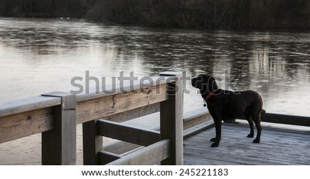 chocolate Labrador in the water