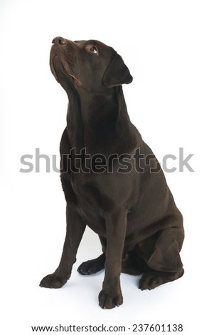 Chocolate labrador isolated on white - stock photo