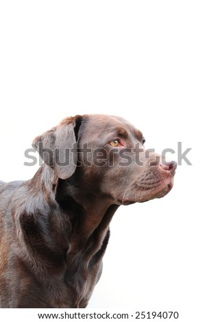 chocolate labrador looking to the side