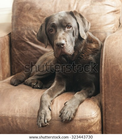 chocolate Labrador on brown leather chair - stock photo