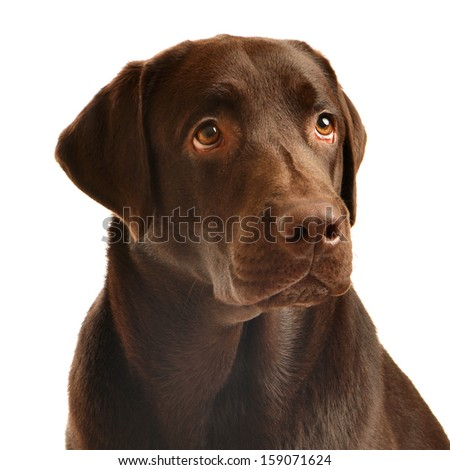 Chocolate labrador portrait - stock photo
