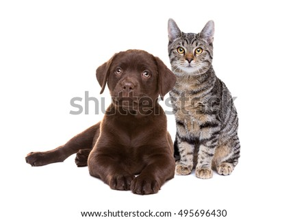 Chocolate Labrador puppy and an european short haired cat in front of a white background