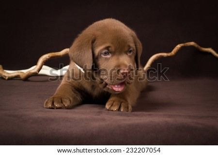 Chocolate labrador puppy lying on a brown background. - stock photo