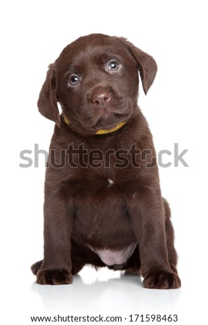 Chocolate Labrador puppy. Portrait on white background