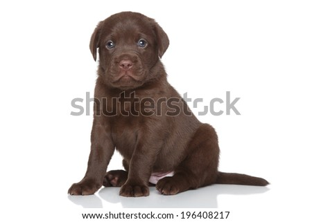 Chocolate Labrador puppy posing on white background