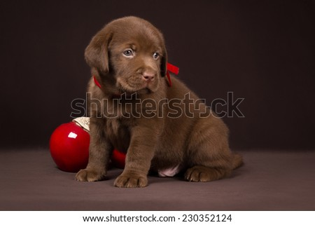 Chocolate labrador puppy sitting on a brown background near red apples and looking to the right - stock photo