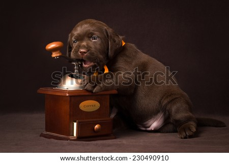 Chocolate labrador puppy sitting on brown background and gnaws a coffee grinder - stock photo