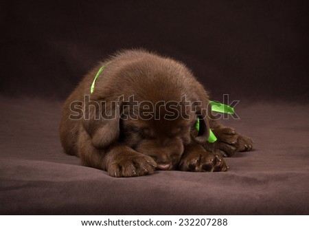 Chocolate labrador puppy sleeping on a brown background. - stock photo