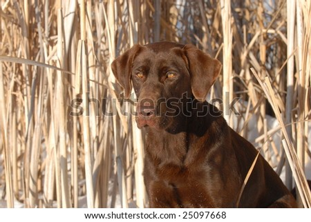 Chocolate Labrador Retiever Sitting In a Cattail Blind - stock photo