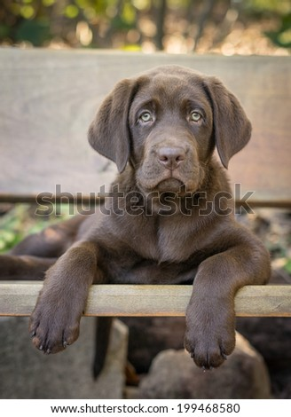 Chocolate Labrador Retriever - stock photo