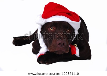 Chocolate labrador retriever dog laying with santa's hat