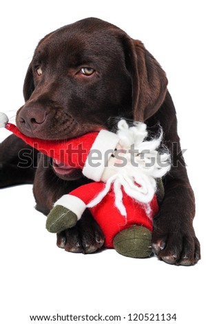 Chocolate labrador retriever dog laying with santa's hat - stock photo