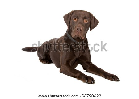 chocolate labrador retriever dog lying on the floor, isolated on a white background