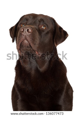 chocolate labrador retriever dog portrait