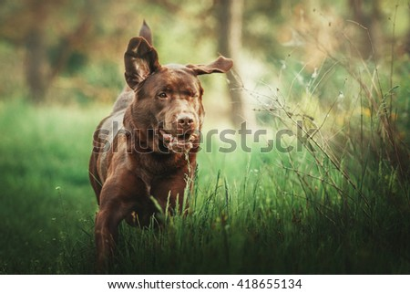 Chocolate labrador retriever dog running on green grass. Cute dog outdoor - stock photo