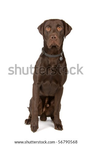 chocolate labrador retriever dog sitting, isolated on a white background - stock photo