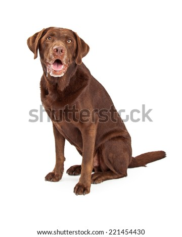 Chocolate labrador retriever dog sitting with slobber and drool dripping from his mouth - stock photo