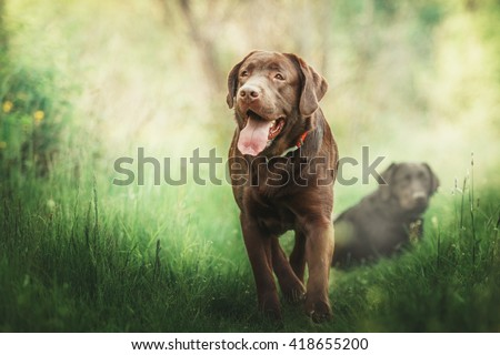 Chocolate labrador retriever dog walking on green grass. Dog outdoor - stock photo