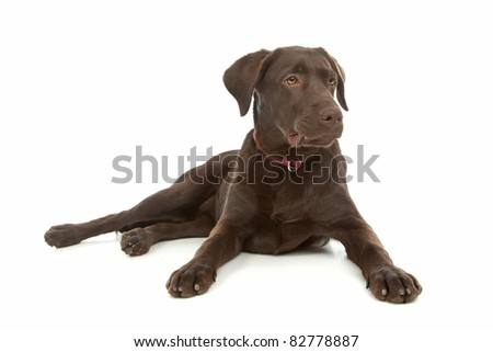 Chocolate Labrador Retriever in front of a white background