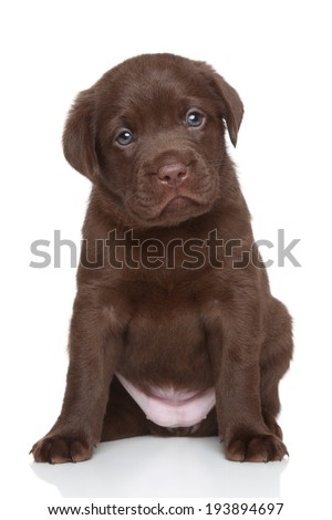 Chocolate Labrador retriever puppy, portrait on a white background