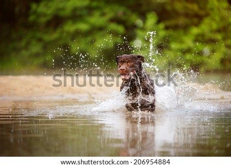 Chocolate labrador running in water - stock photo