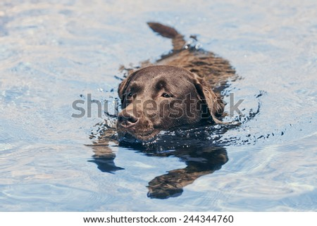 Chocolate Labrador Swimming - stock photo