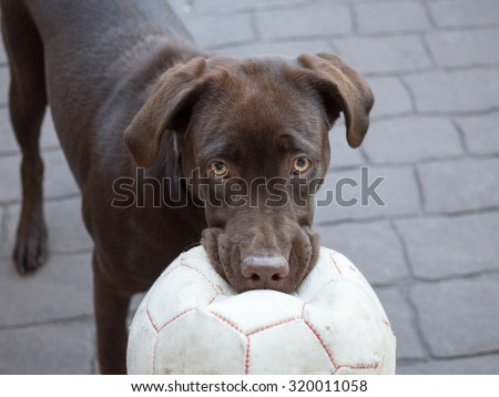 Chocolate Labrador with ball - stock photo