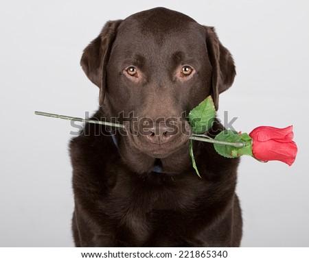 Chocolate Labrador with Rose - stock photo