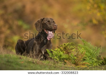 Chocolate labrador x Springer in autumnal light in the forest