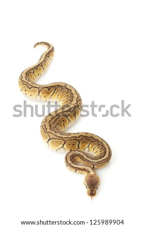 Chocolate lemon blast ball python (Python regius) isolated on white background.