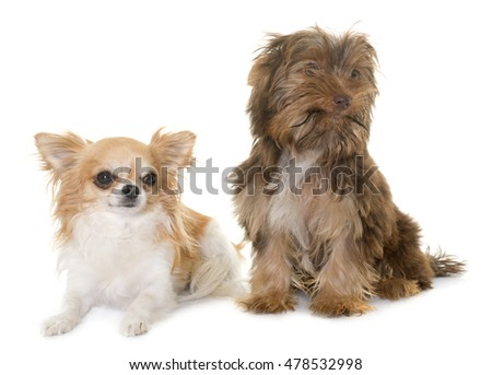 chocolate puppy yorkshire terrier and chihuahua in front of white background