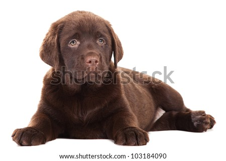 Chocolate Retriever puppy, 20 weeks old, lying in front of isolated white background