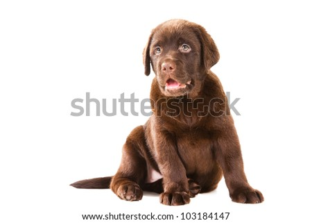 Chocolate Retriever puppy, 20 weeks old, sitting in front of isolated white background