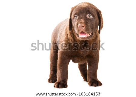 Chocolate Retriever puppy, 20 weeks old, standing in front of isolated white background