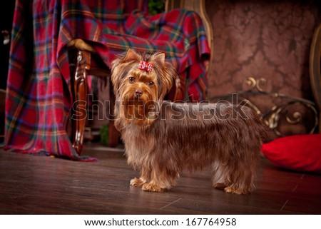 Chocolate Yorkshire Terrier dog, christmas - stock photo