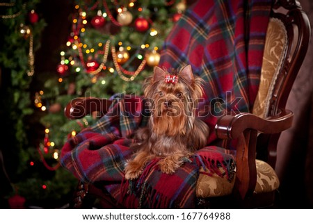 Chocolate Yorkshire Terrier dog, christmas - stock photo
