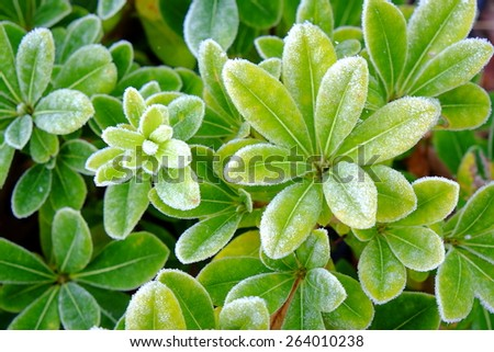 Choisya, or Mexican Orange shrub with frosty leaves - stock photo