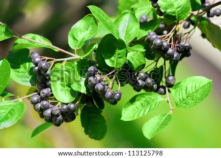 chokeberry Bush branch with dark purple fruit with green fresh leaves on the forest bright summer autumn day lit by the rays of the bright sun - stock photo