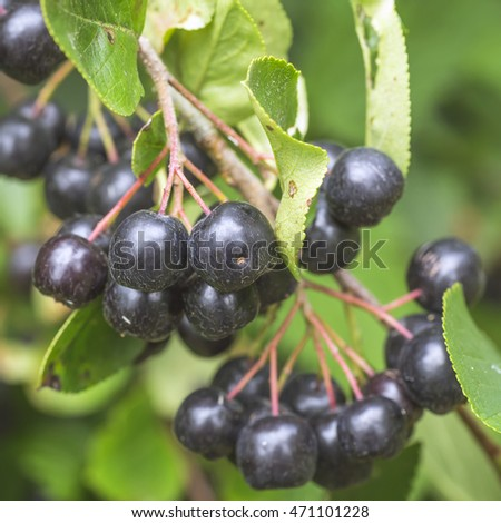 Chokeberry on branch