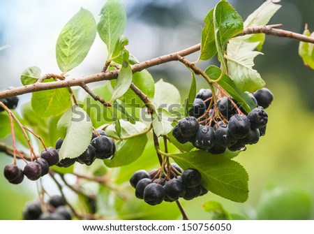 Chokeberry on the branch. Photo with selective focus - stock photo