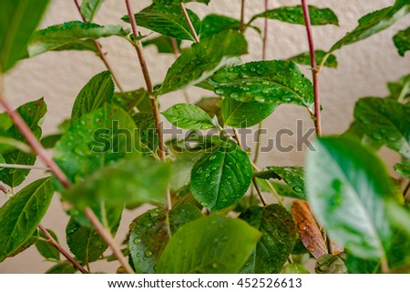 Chokeberry plant with leaves