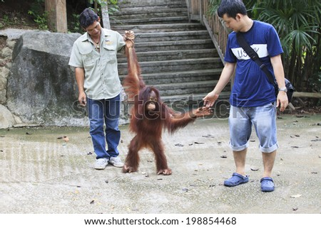 CHOLBURI THAILAND - JUNE13 : unidentified visitor playing with Borneo Orangutan  in Khaow Kheow open zoo eastern of thailand on june13,2014 in Cholburi Thailand  - stock photo