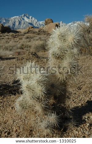 Cholla cactus and a view of Mt. Whitney and the eastern Sierra's from the Alabama Hills near Lone Pine, CA. USA - stock photo