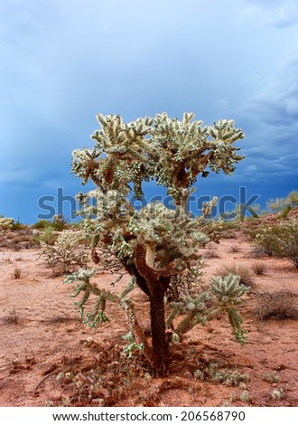 Cholla cactus central Arizona desert during spring