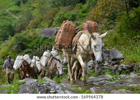 CHOMRONG - OCT 6: A shepherd with a caravan of donkeys carrying heavy supplies, food and equipment in the Annapurna Base Camp, Himalaya mountains. On Oct 6, 2013 in Chomrong, Nepal  - stock photo