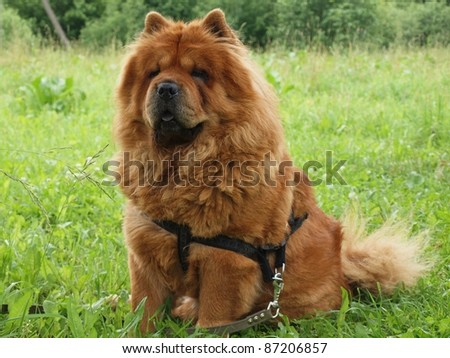 Chow chow dog and green nature summer time. - stock photo
