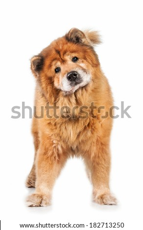 Chow-chow dog isolated on white background